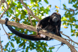 Costa Rica Howler Monkeys Lazy Loud Pushy And Poop Throwing